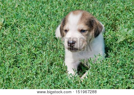 Russian piebald hound puppy in the grass outdoors