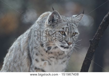 Wild Canada lynx on the hunt for prey he is stalking and on the hunt.