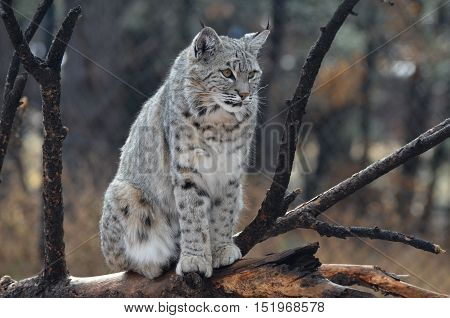 Canadian lynx posing on a fallen tree in nature.