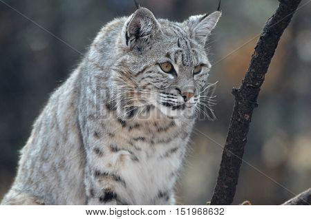 Wild bobcat with pointed black ear tips