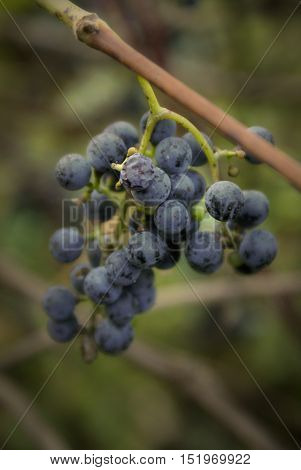 Closeup of a bunch of wild grapes ripened at the start of Autumn in Ontario Canada.