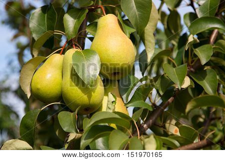 Ripe pears on a branch of a pear tree
