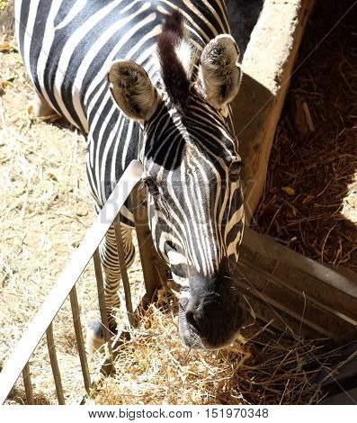A Zebra At A Zoo Eating And Looking Upwards