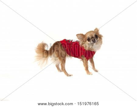 Dog Chihuahua in clothes. Color red with white.