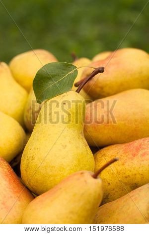 Fresh Ripe Yellow Pears Outdoor Close-up. Fresh Ripe Pear. Selective Focus.
