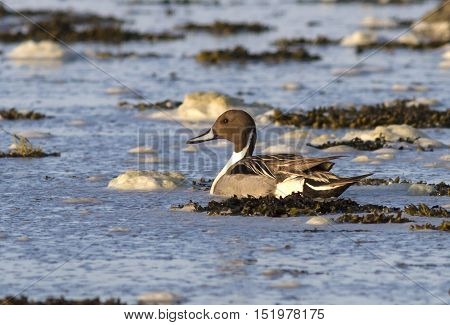 NORTHERN Pintail male in shallow waters near the island of Bering in early spring
