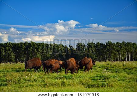 Wildlife, a few bison walking away in the field of Canada