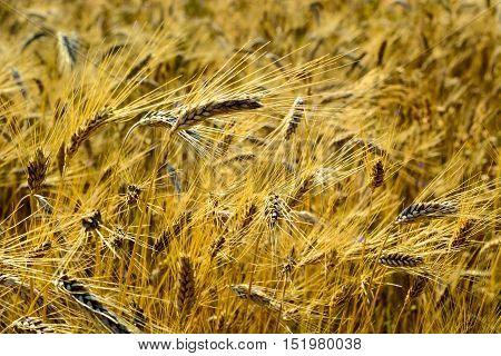 Field of yellow ripe barley grass grains