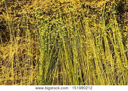 Field of ripe flax grass during harvest
