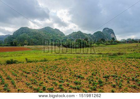 Field With Crop In Vinales Valley, Cuba