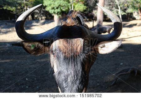 A Head Of Gnu Antelope With Big Horns And Ears