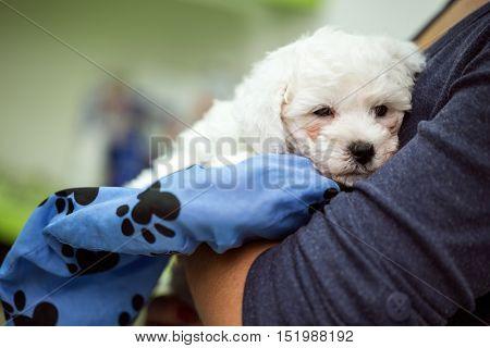 portrait puppy white Maltese