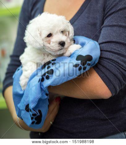 Puppy white Maltese