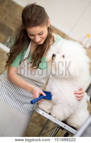 smiling woman grooming bichon fries in hair service