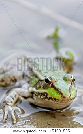 Green Frog close up view - in the water