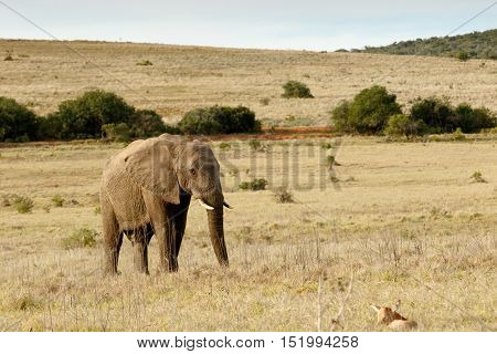 African Bush Elephant Walking To Baby Red Heart Beast