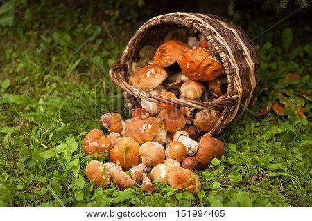 Fresh Edible Mushrooms Boletus Edubil In Wicker Basket On Green Grass In Forest. Harvesting Mushrooms. Forest Edible Mushrooms In Basket. Selectiv Focus. Vignette.