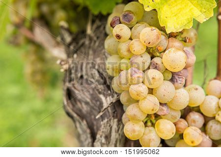 Green overripe and shriveled grapes on grapevine