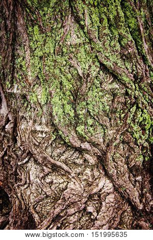 bark of a large tree covered with green moss