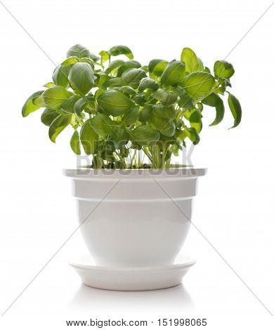 Basil In A White Clay Pot