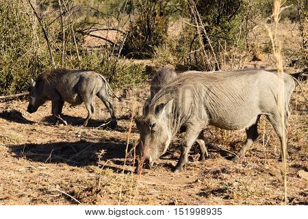 Warthog From South Africa, Pilanesberg National Park