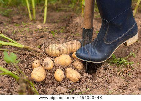 Harvesting Potatoes. Farmer Digging Potatoes Of Ground. Fresh Potato. Season Harvest Potato.