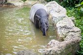 stock photo of tapir  - Tapir bathing in the Dusit zoo in Bangkok