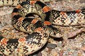 picture of harmless snakes  - longnose snake - JPG