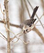 picture of mockingbird  - Northern mockingbird Mimus polyglottos perched on a tree branch - JPG