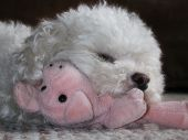 Toy Poodle With Pig poster