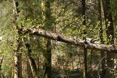 foto of life after death  - Break in tree after hurricane in the Bawaria forest - JPG