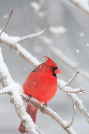 picture of cardinal-bird  - Northern cardinal sits perched on a snow covered branch following winter storm - JPG