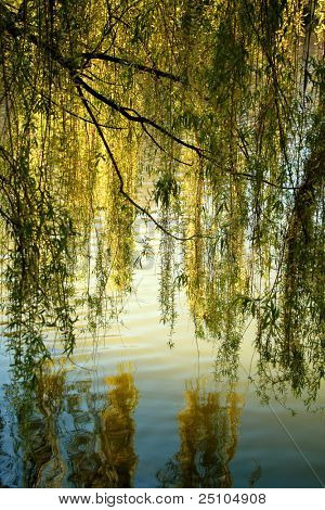 weeping-willow at a pond