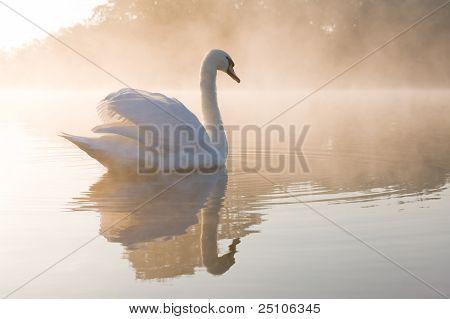 Mute Swan gliding away