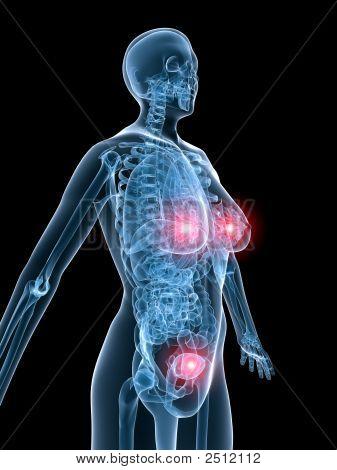 X-Ray Anatomy-Highlighted Uterus And Mammary Gland