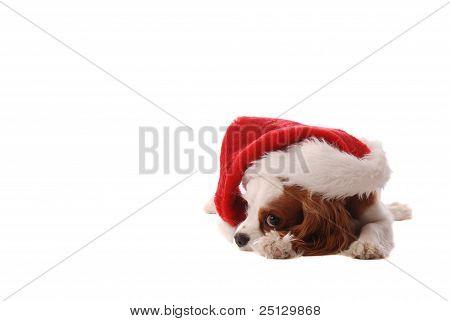 Cavalier King Charles Spaniel In Santa Hat