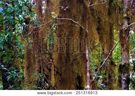 Tillandsia Usneoides Spanish Moss In