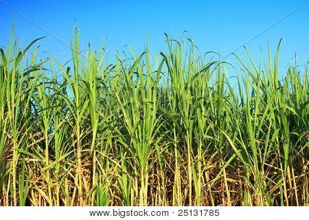 Zuckerrohr-Plantage