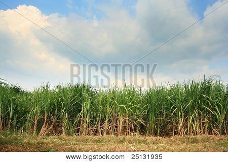 Landscape of sugar cane plantation