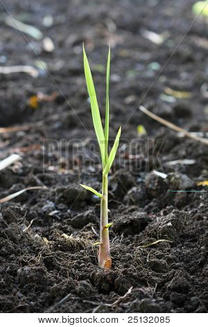 new beginning. A fresh, seed-cane growing in the plantation field.