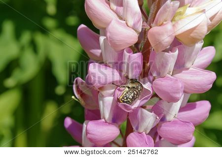 Bug In Delphinium