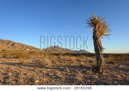 Yucca Plant in Desert Setting