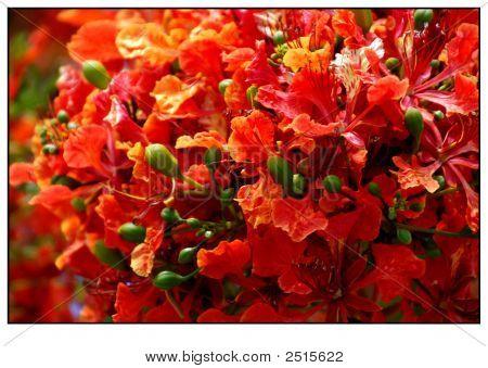A beautiful bloom of Delonix Regia
