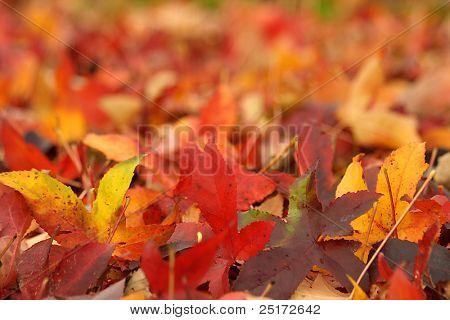 Herbst Ahorn Blätter auf dem Boden, Schlucken Schärfentiefe