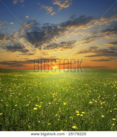 field of flowerings dandelions