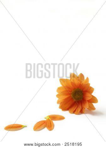 Orange Gerbera Isolated On White