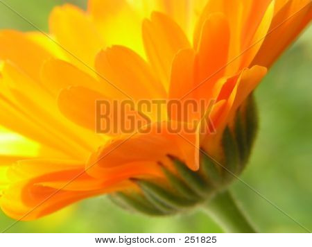 Perspective Of Orange Gerbera