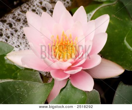 Pink Water Lillie