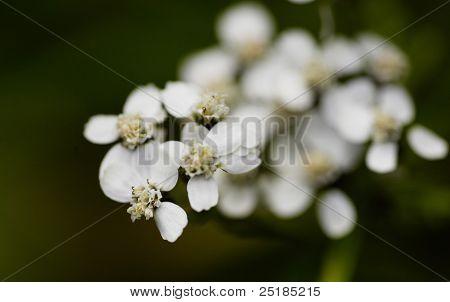 Macro of white flower