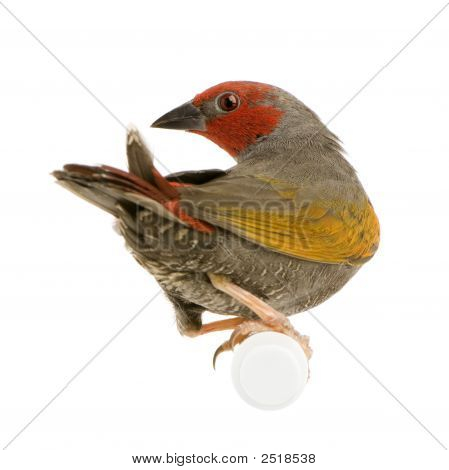 Red-Headed Finch - Amadina Erythrocephala